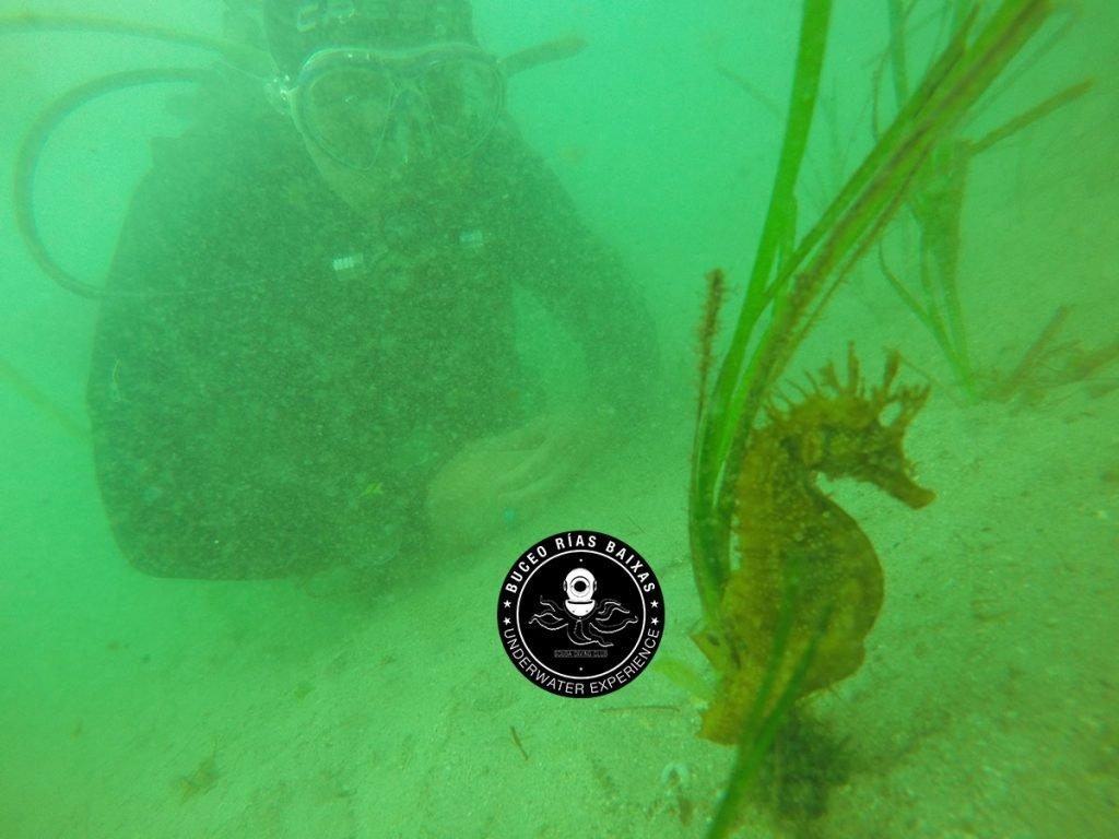 Buceo con Caballitos de Mar